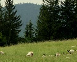 Pastva ovcí na Javorníčku.
