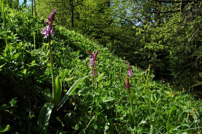 Orchidejové louky v okolí říčky Zděchovky. Vstavač mužský (Orchis mascula L.).